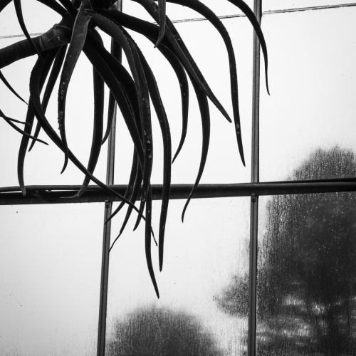 Monochrome (black and white) image of a cactus plant silhouetted against a glasshouse window at The University of Dundee Botanic Garden, Dundee, Scotland. DD044