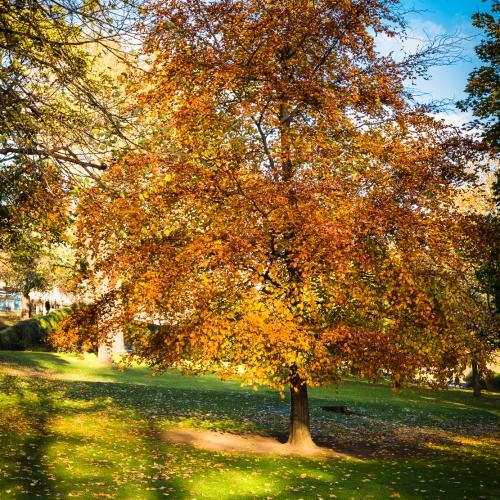 Beech tree in autumn colurs in Princes Street Gardens, Edinburgh, Scotland, United Kingdom.