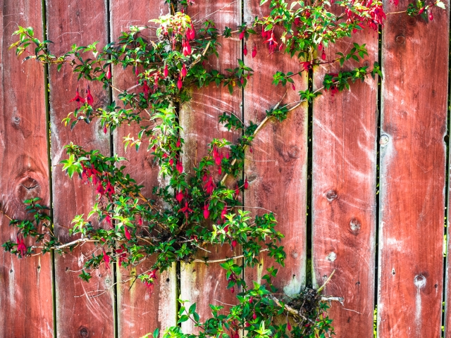 Red fuschia bush growing through fence of stained wood. DD067