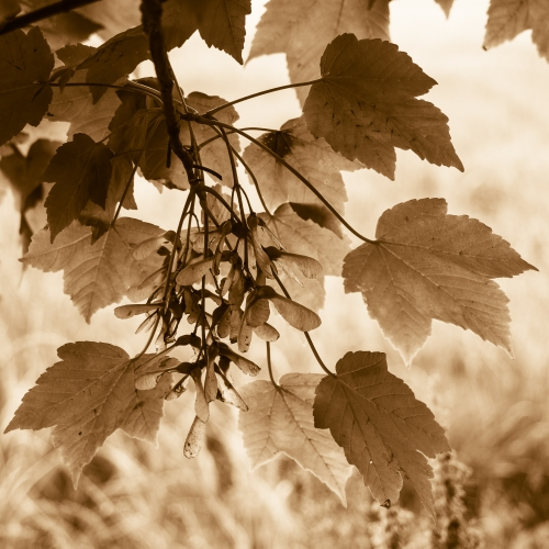 Sepia-toned image of sycamore leaves and seed pods. DD099