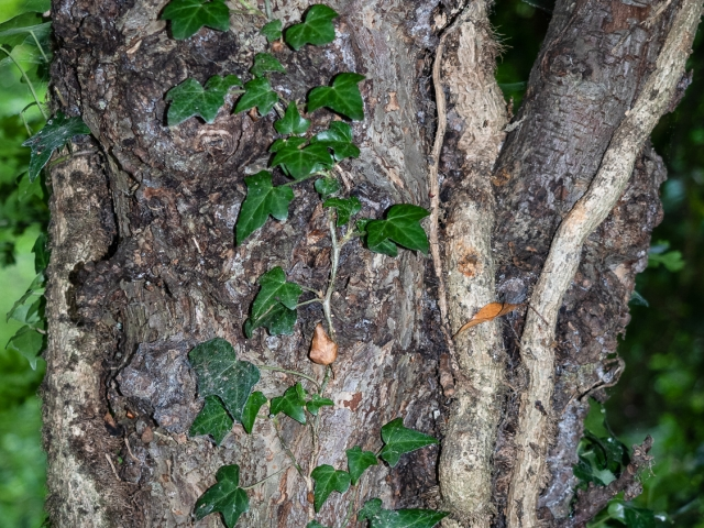 Tree trunk with ivy shoots and leaves. DD105