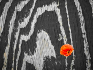 Red poppy against weathered wooden fence. DD062