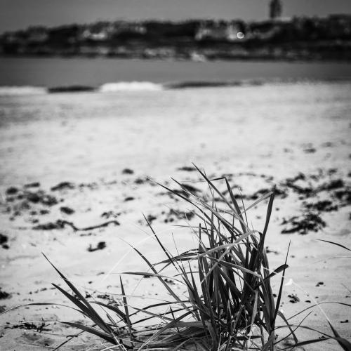Dune grass on the West Sands, St Andrews. Fife, Scotland.