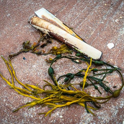 Razor shell and seaweed on Sand beach, Applecross, Scotland. AP009
