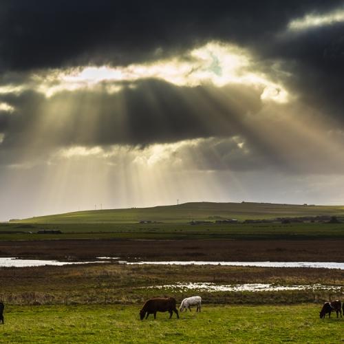 Cattle grazing on farmland near Twatt, Mainland, Orkney Islands. OR005