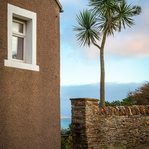 Palm tree growing in a garden in Stromness, Mainland, Orkney Islands. OR006
