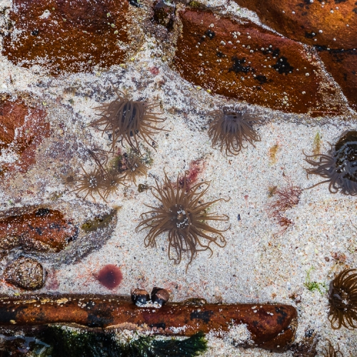 Sea anenomes in a rock pool at Coille Ghillidh, Applecross, Scotland. AP027
