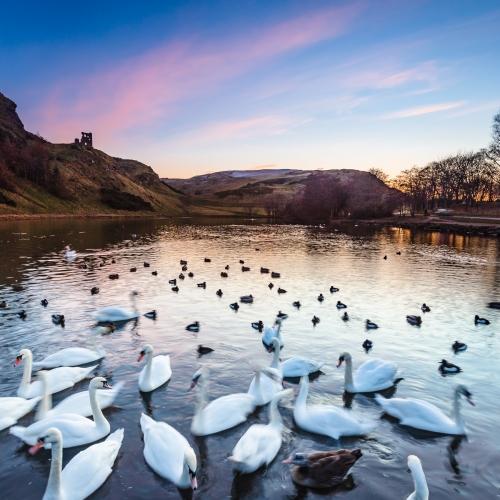 Swans on St Margaret's Loch, Edinburgh, Scotland. EH034